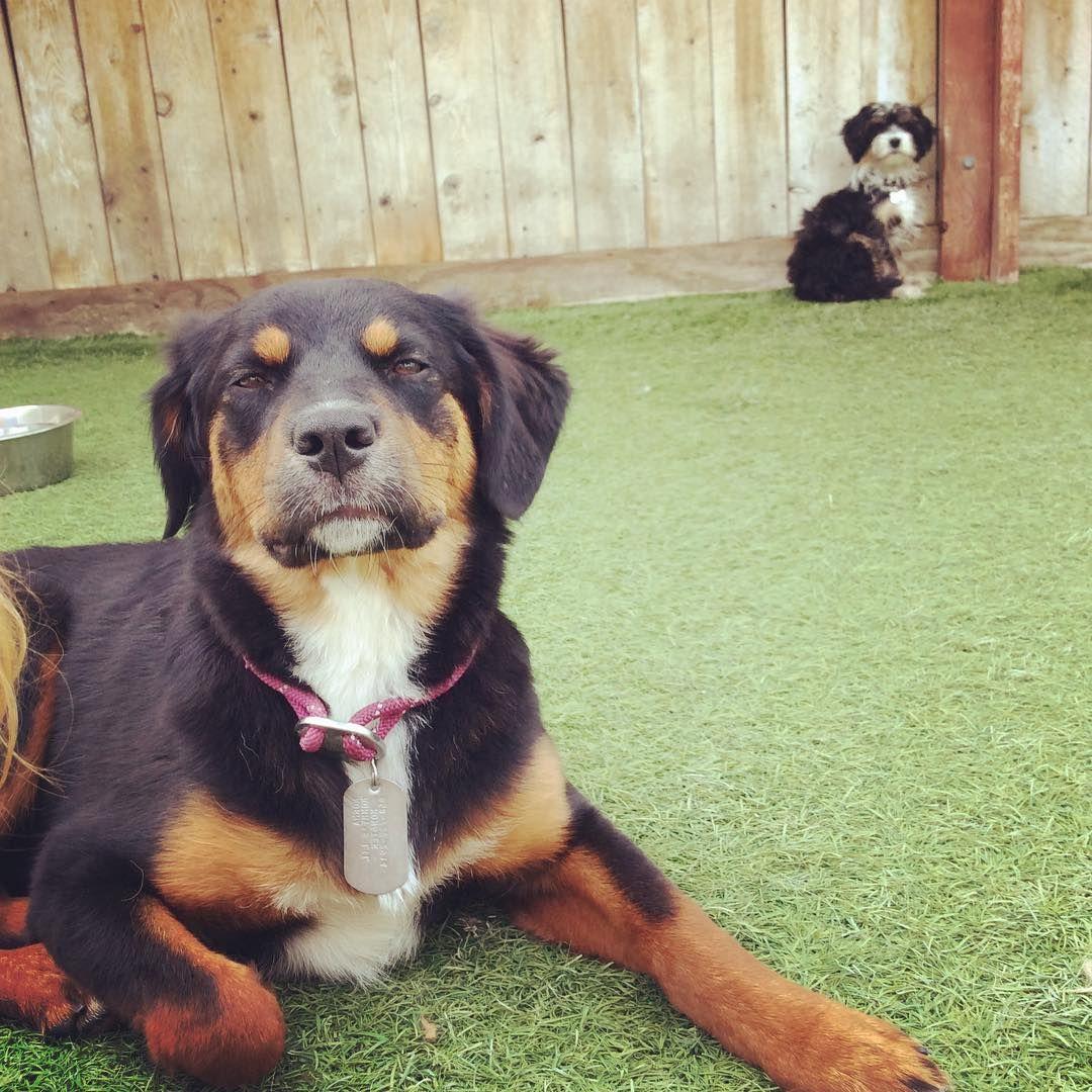 Australian Shepherd Rottweiler Mix Rottweiler Puppies