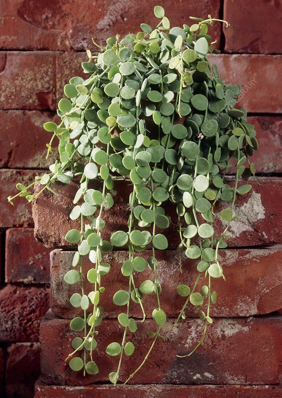 Hoya serpens. - Stock Image - B814/0921 - Science Photo Library