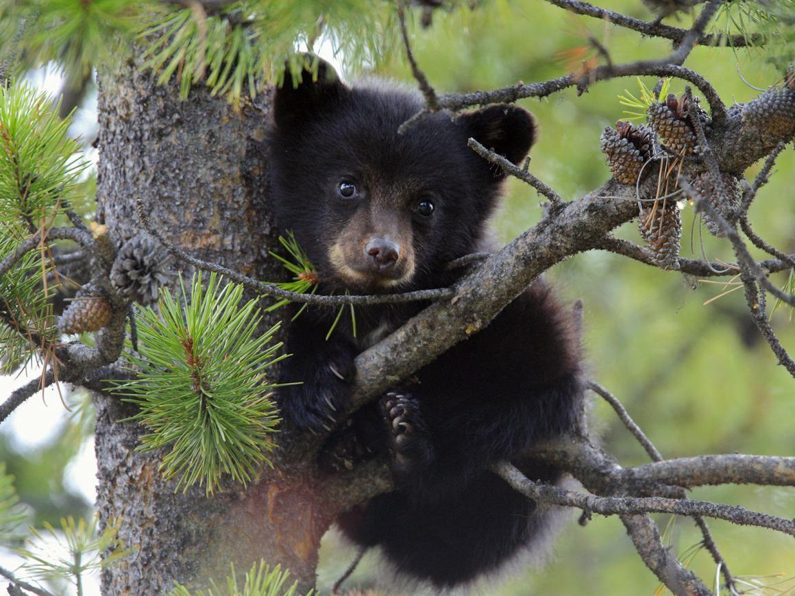 Black Bear Cub In Tree Bears And Animal