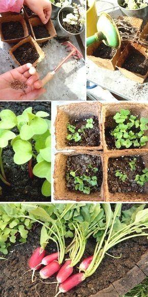 Une activité facile pour les enfants, planter des radis ...