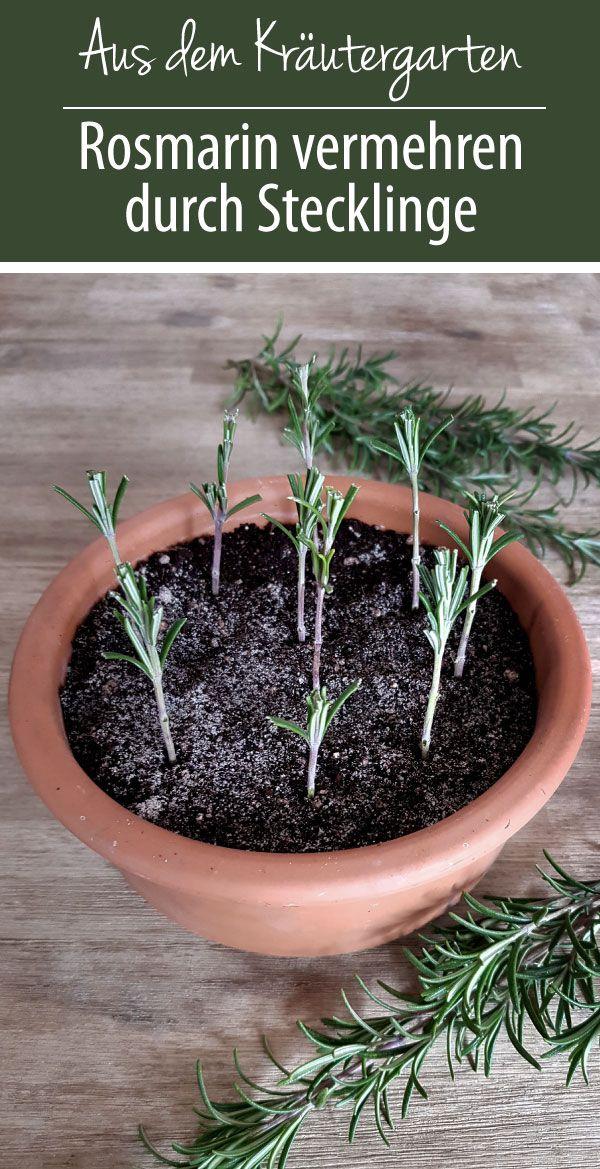 Rosmarin vermehren durch Stecklinge - grüneliebe
