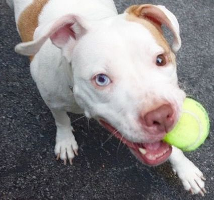 SAFE 7-31-2015 by  Second Chance Rescue --- TO BE DESTROYED 7/30/2015 Manhattan Center LADY MACBETH – A1044856 FEMALE, WHITE / BROWN, AM PIT BULL TER / AMER BULLDOG, 5 yrs OWNER SUR – EVALUATE, NO HOLD Reason NO TIME Intake condition EXAM REQ Intake Date 07/21/2015, http://nycdogs.urgentpodr.org/lady-macbeth-a1044856/