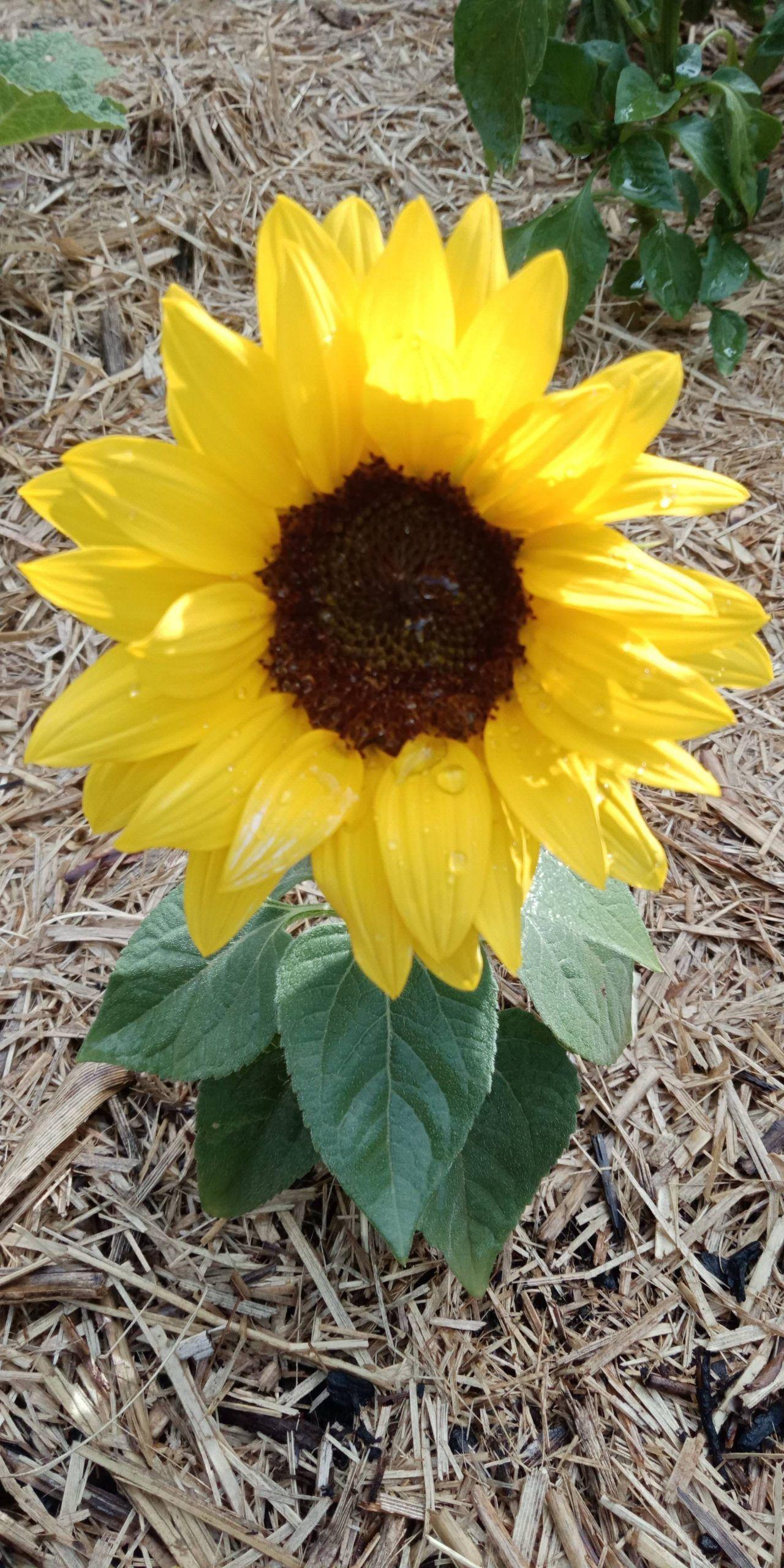 Eagar Little Sunflower Gardening Garden Diy Home Flowers Roses Diy Eagar Flowers Garden Gardening Home R In 2020 Sunflower Garden Easy Garden Home Flowers