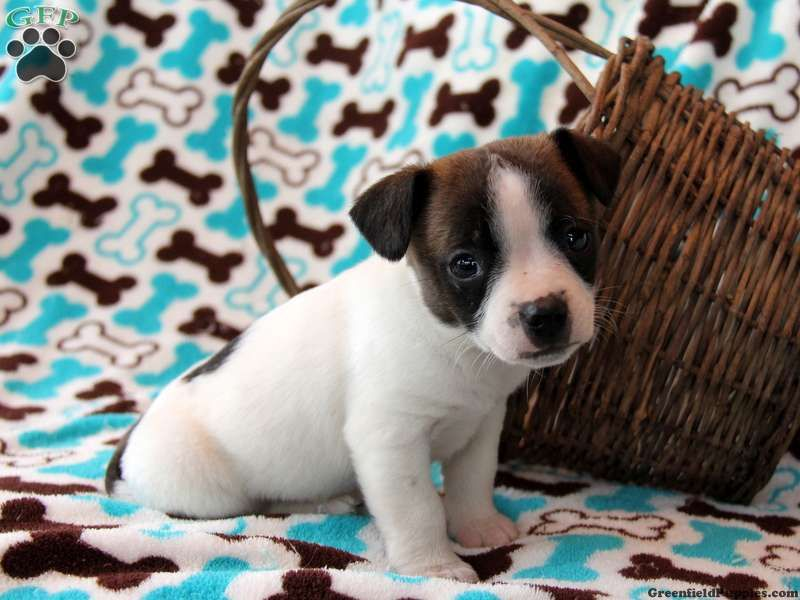 Jack Russell Terrier Puppies For Sale In PA Jack russell