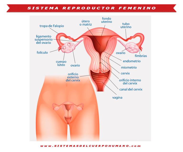 Sistema Reproductor Femenino Funciones Partes Caracteristicas Sistema Reproductor Femenino Sistema Reproductor Aparato Reproductor Femenino