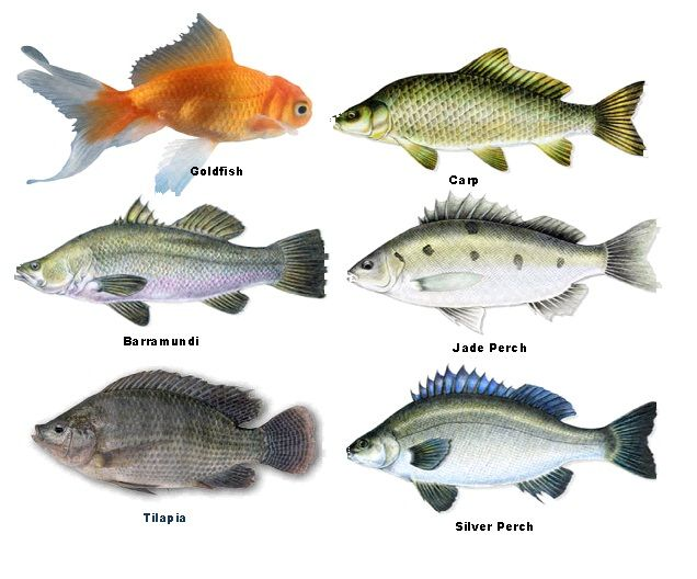 Examples of fish for aquaponics gardening learn more for Edible freshwater fish