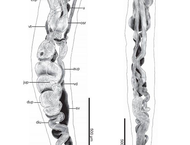 Nova espécie de verme é denominada em homenagem a Obama
