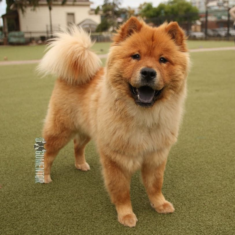Snooki Chow Chow 7 M O Little Italy Dog Park She Has A