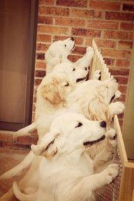 Love The Ears He He He Look Food Food Lol Sooooooo Sweet Xxxxxx Puppies Funny Dog Pictures Golden Retriever