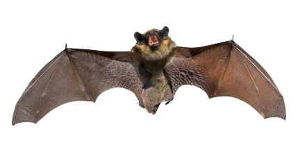 New Jersey Bat Removal Monmouth County Bat Control Alliance Getting Rid Of Bats Animal Spirit Guides