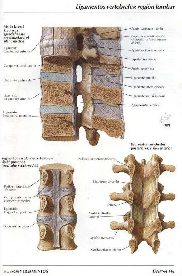 ASOTERCI - CASC: Columna Vertebral   anatomia : esqueleto humano ...