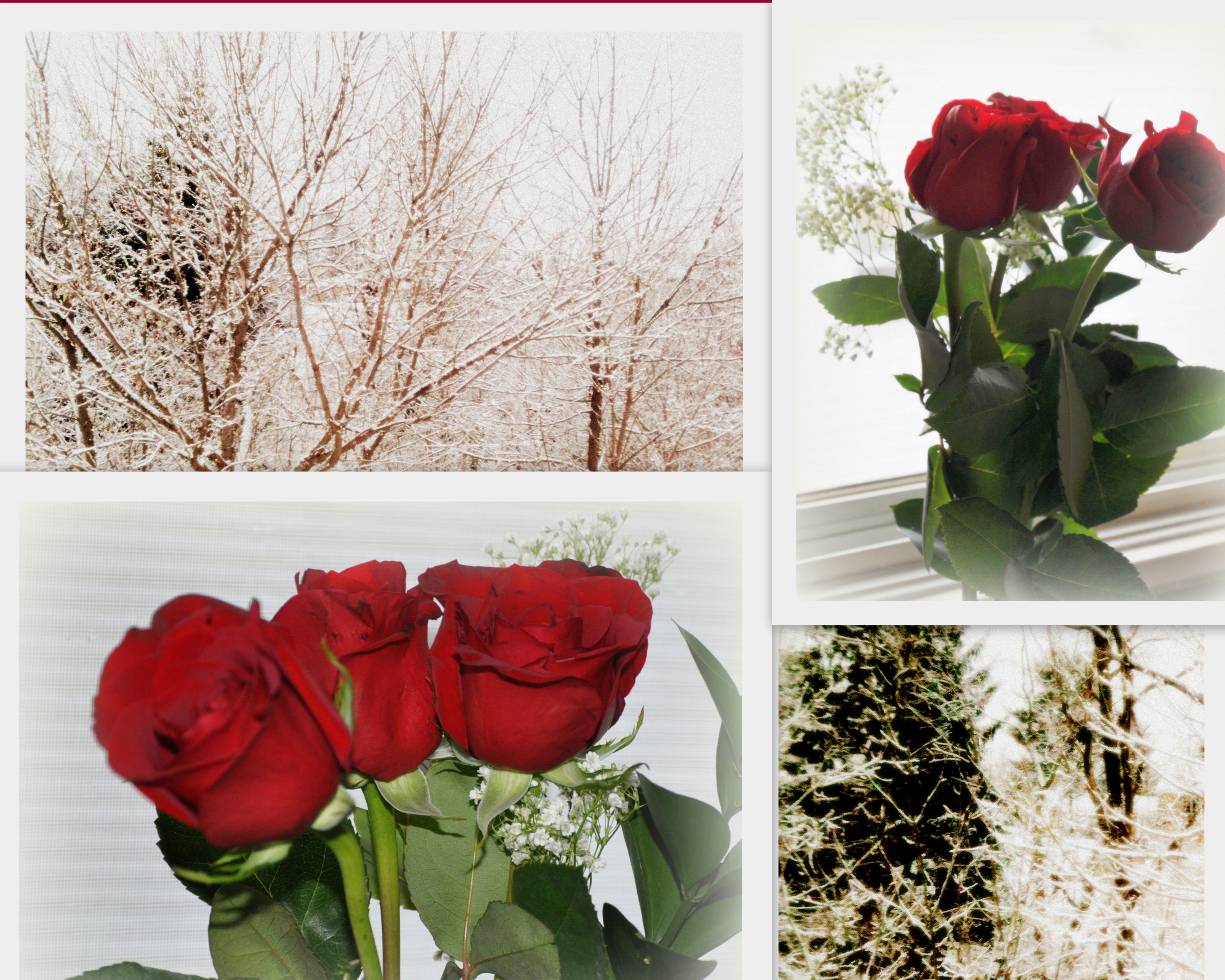 lacy snow and red roses