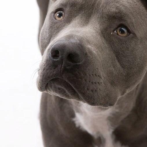 Pin By Amy St John On Dogs Pitbull Dog Animals Beautiful Cute Dogs