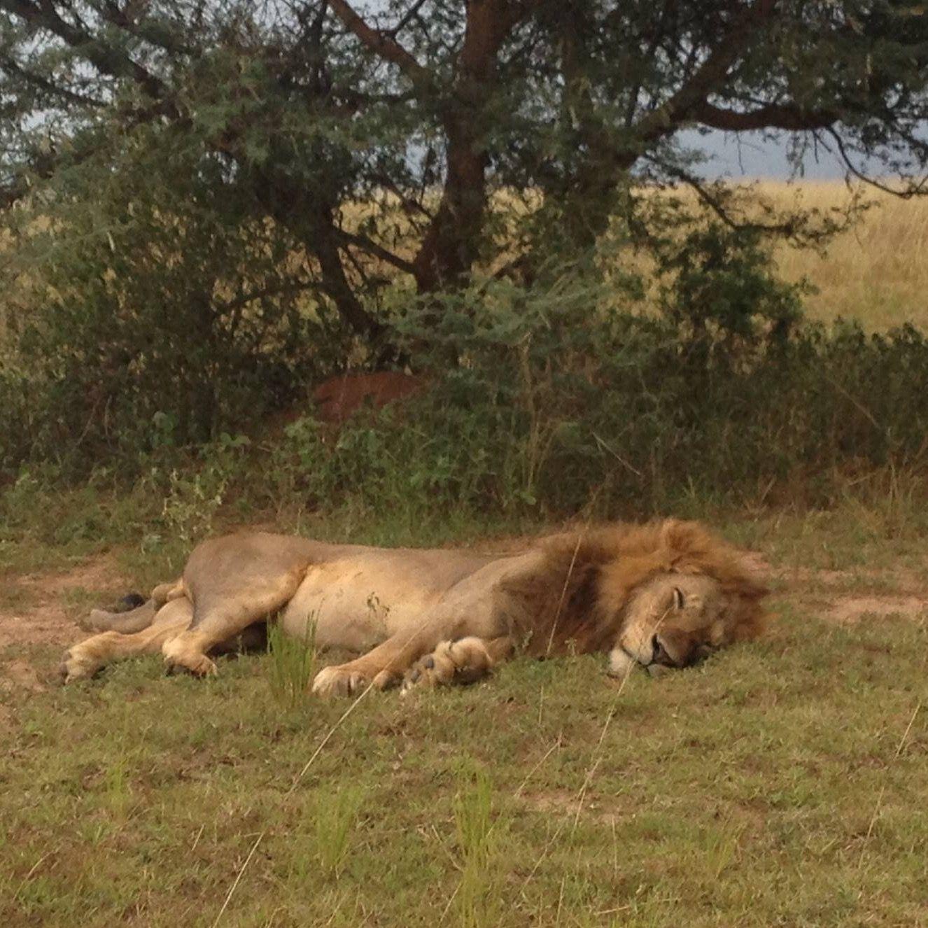 Lion in Murchinson Falls  http://trevortoursafaris.com
