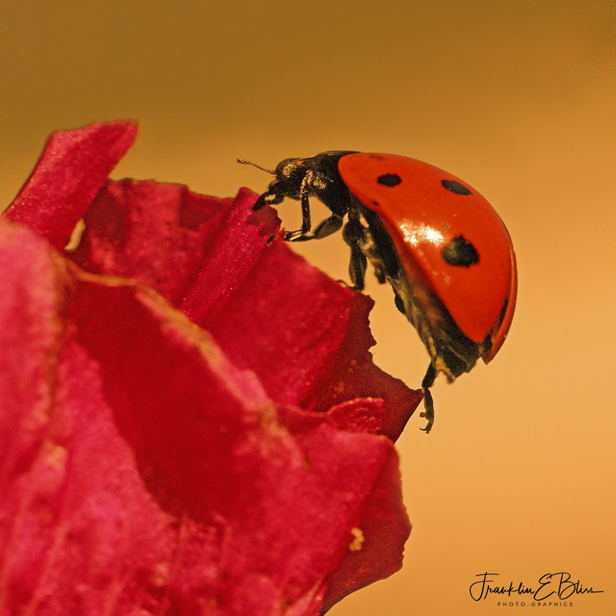 Lady Bug Hunting in the HollyHock Garden #dinosaurtattoos