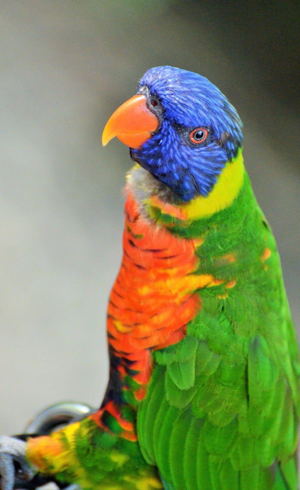 Owl Parrot is a wonderful bird