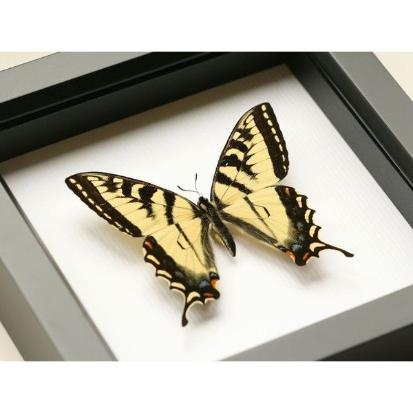 Tiger Swallowtail Real Framed Butterfly Shadowbox Display ($40 ...