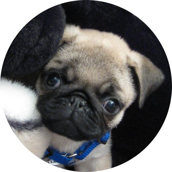 Cute Pug Puppy Cute Pug Puppies Baby Pugs Pugs