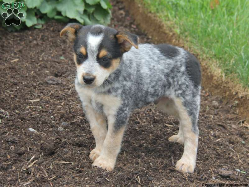 Leo Blue Heeler Puppy For Sale In Narvon Pa Blue Heeler Puppies Australian Cattle Dog Puppy Heeler Puppies