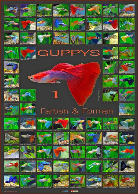 Wp8d755c23 0f Jpg 475 664 Guppy Fish Tropical Fish Aquarium