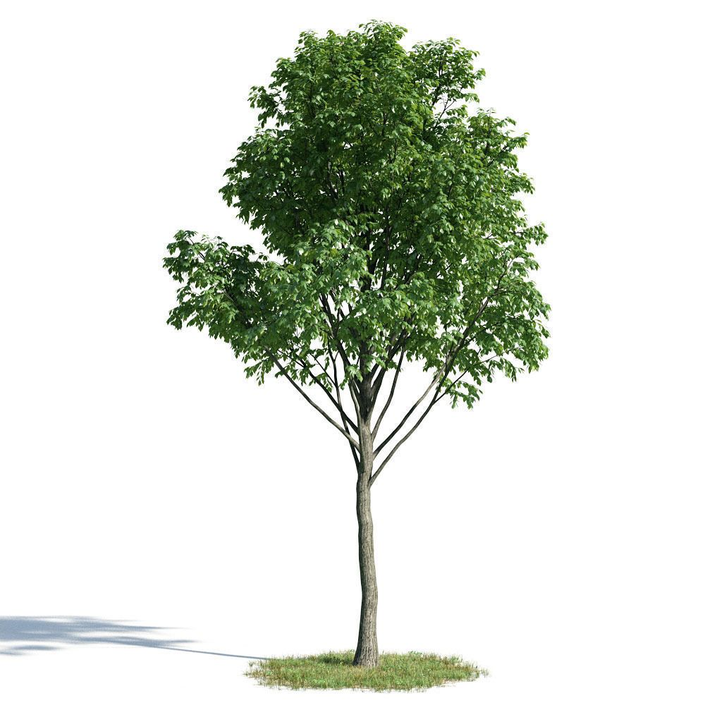 Tilia 57 Am154 3d Model Model Tree Trees To Plant Plants