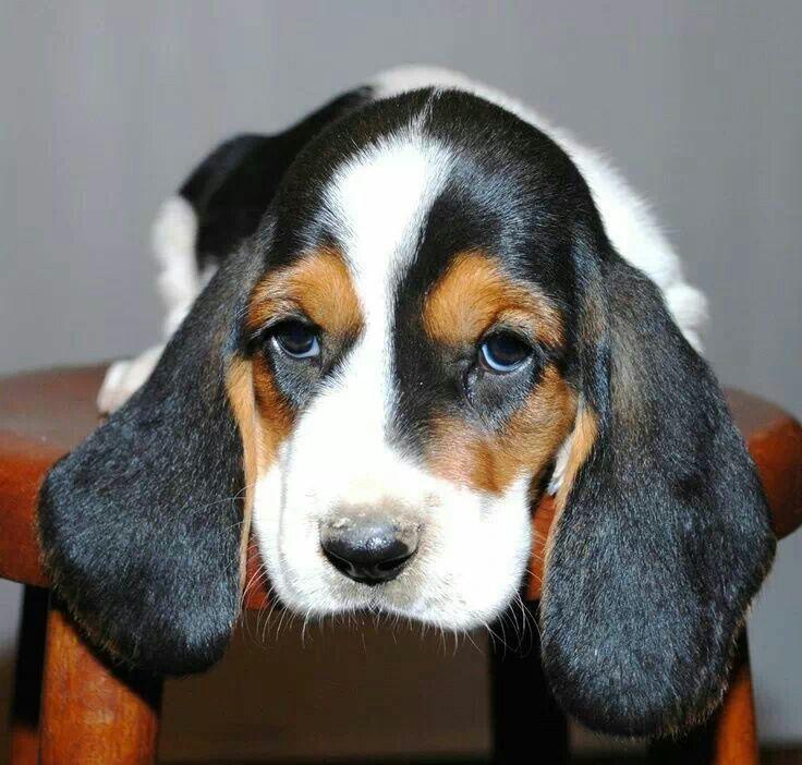 basset hound puppy basset hound pinterest. Black Bedroom Furniture Sets. Home Design Ideas