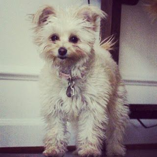 Pomachon Bichon And Pomeranian Mix Family Friendly Dogs