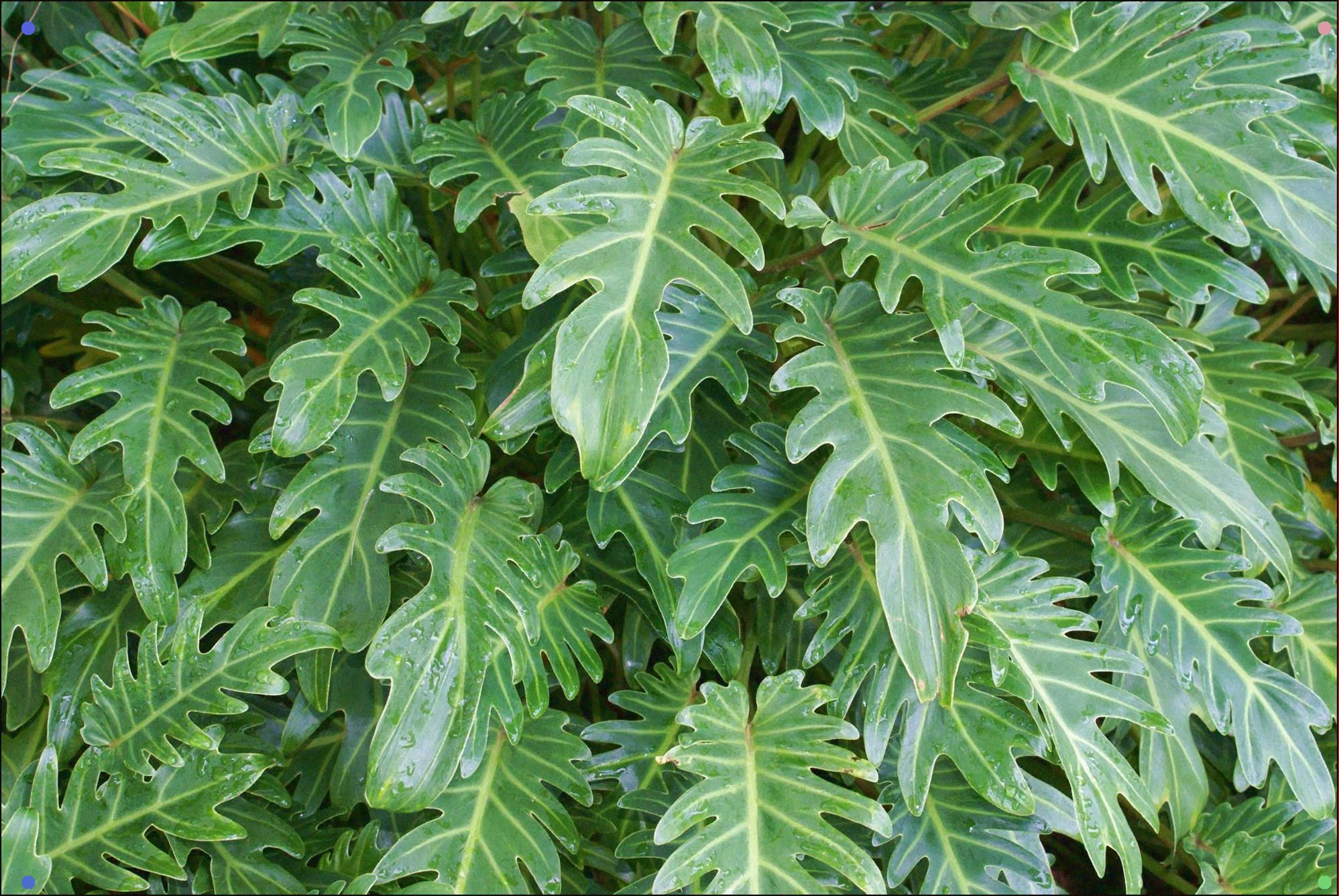 how to care for philodendron xanadu