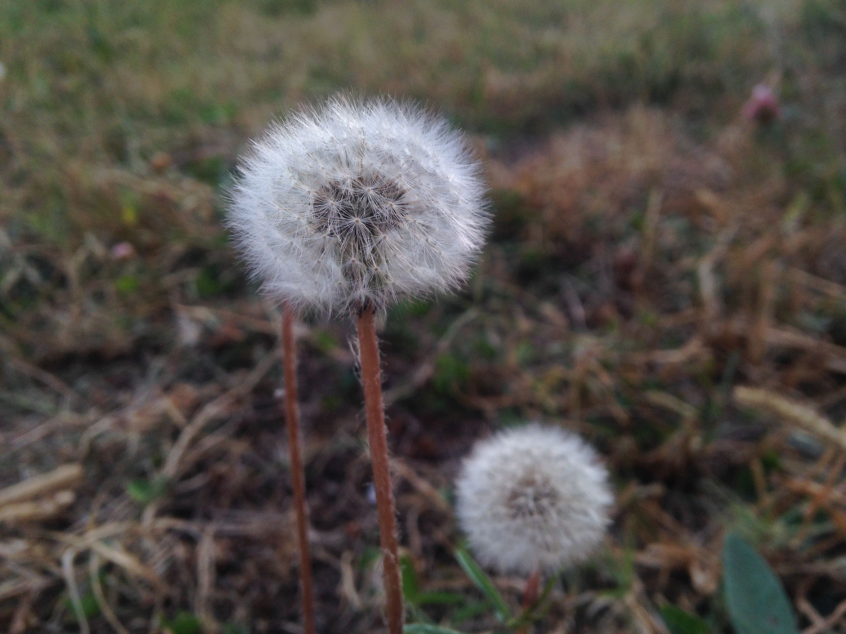 Pin By Iqra Mukhtar On Close To Nature Closer To Nature Flowers Dandelion