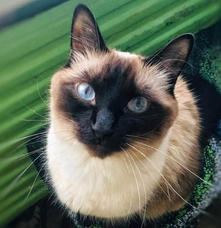80 Blue Eyed Cat Names Cat With Blue Eyes Cat Names Cute Cats