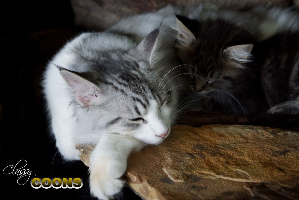 The Sweetest Cats Maine Coons