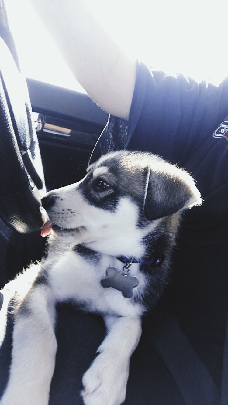 Cute Husky Puppy Dog Aesthetic Vsco Car Husky Puppies