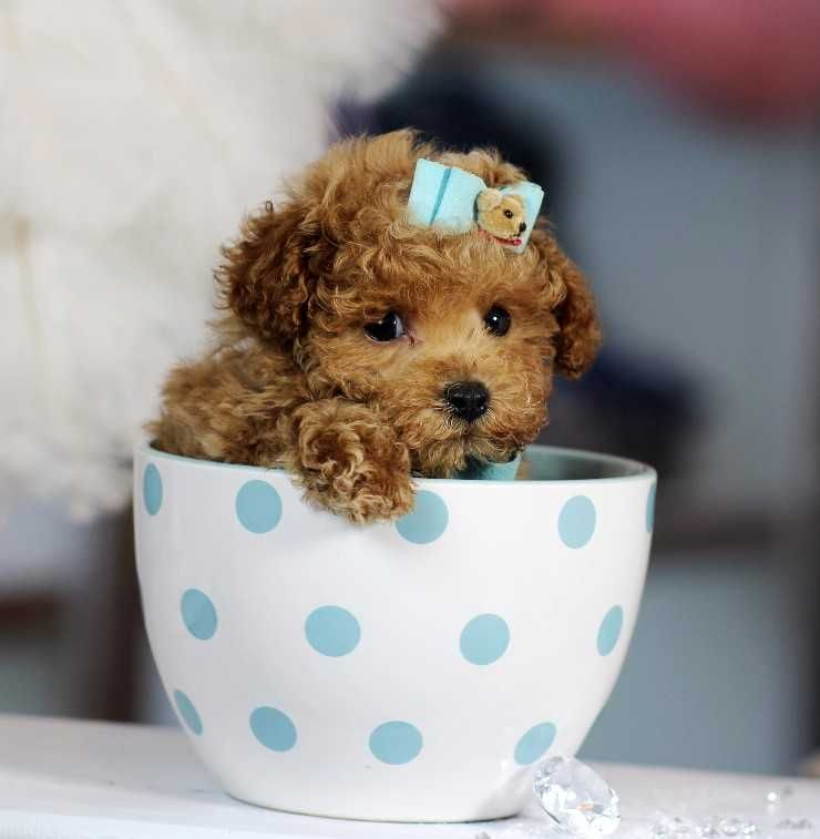Super Cute Mini Poodle Puppies We Ship Nationwide