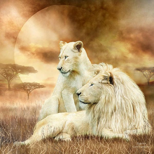 Two White Lions - Together by Carol Cavalaris