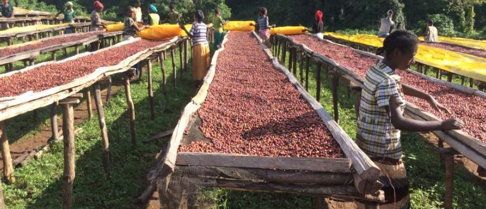 Top 10 Largest Coffee Producing Countries In The World In