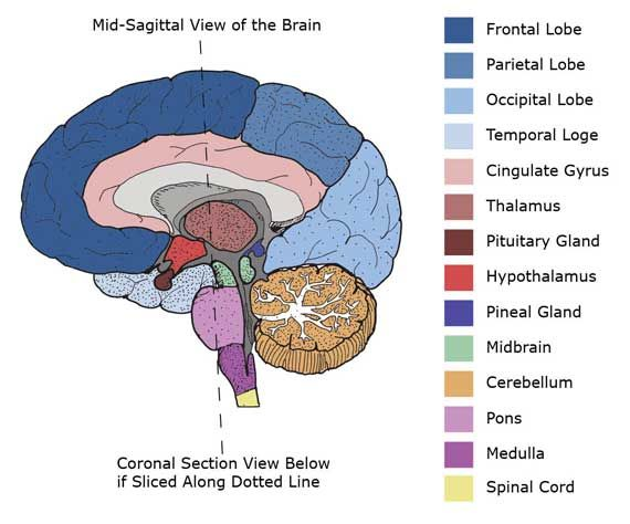 Mid Sagittal Brain Diagram Color Coded Simple Electronic