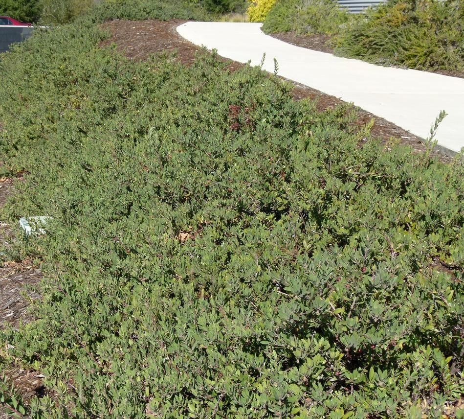 Pacific mist manzanita can make a flat ground cover for Landscaping ground cover plants