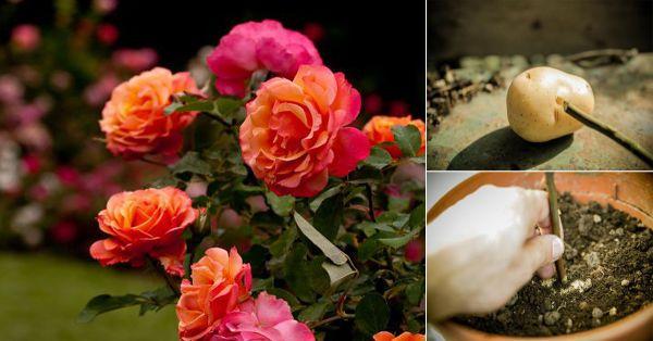 Cómo Cultivar Rosales Con La Ayuda De Una Patata Sembrar Rosas Esquejes Y Rosas Trepadoras