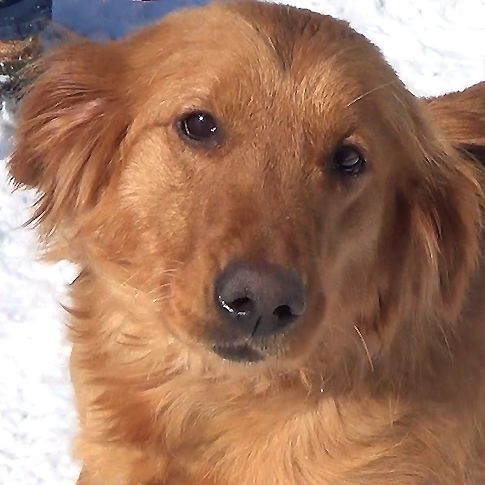 Dogs Available For Adoption At The Delaware Valley Golden Retriever Rescue Golden Retriever Retriever Dogs