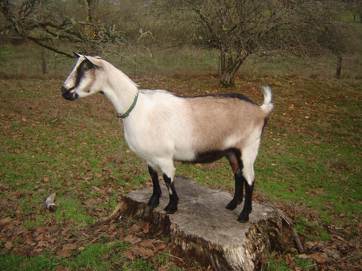 Alpine Dairy Goats Goat Keeping Raising Milk Goats Three