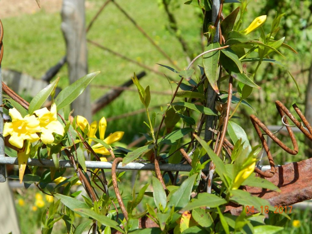 carolina jessamine in my prim garden - Prim Garden