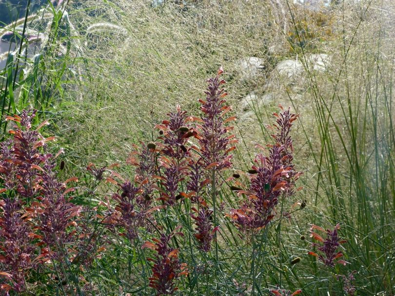 Plantas para clima mediterráneo y jardines naturalistas que atraen