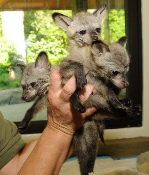 Meet George, Penelope and Frankie, Cincinnati Zoo's new baby bat-eared foxes. Aren't they adorable!? Credit:   http://www.facebook.com/cincinnatizoo
