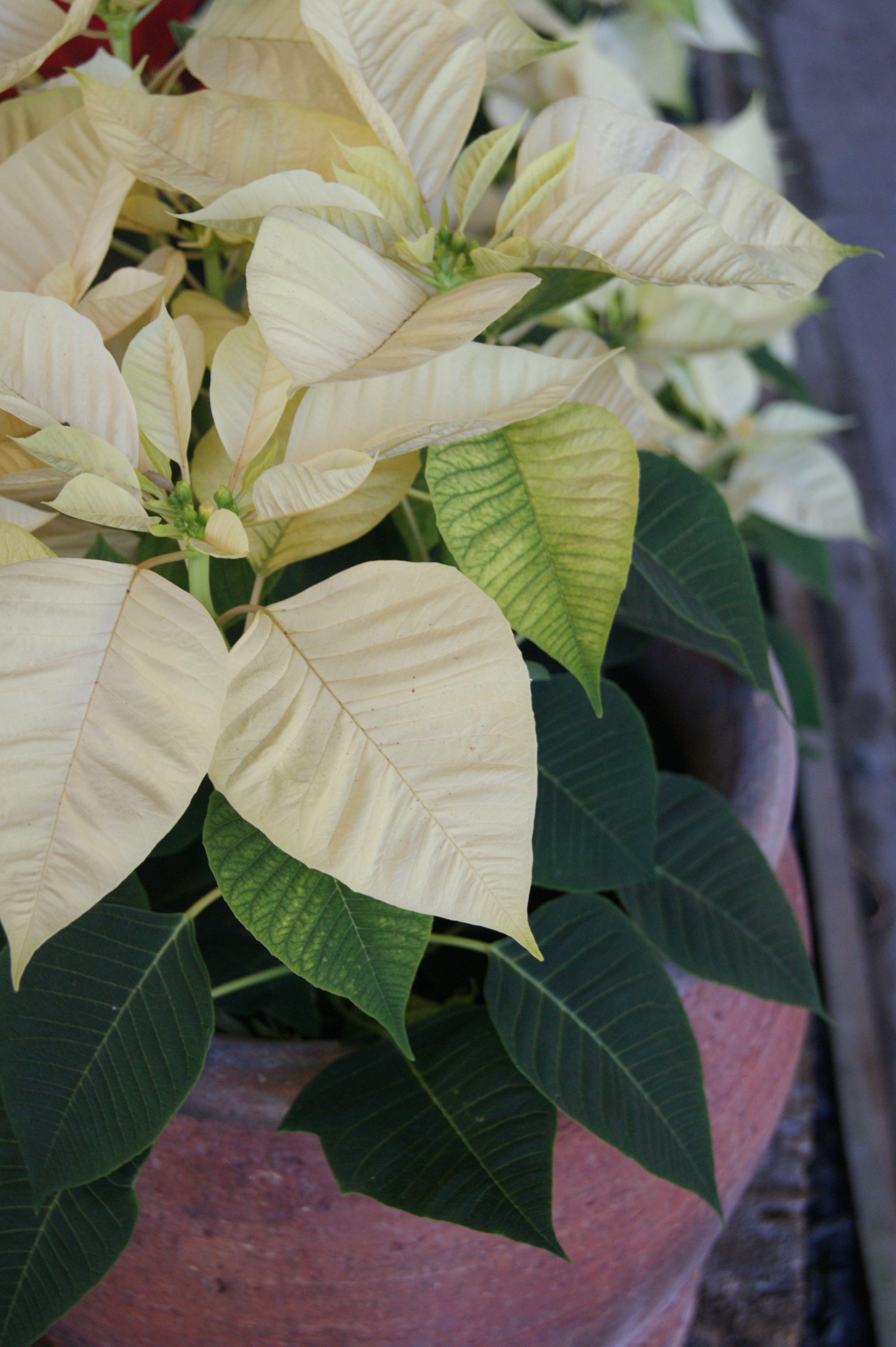 Euphorbia Pulcherrima Cortez White Poinsettia Pinterest