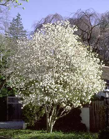 Magnolia Stellata Star Magnolia Family Magnolia Magnoliaceae Type