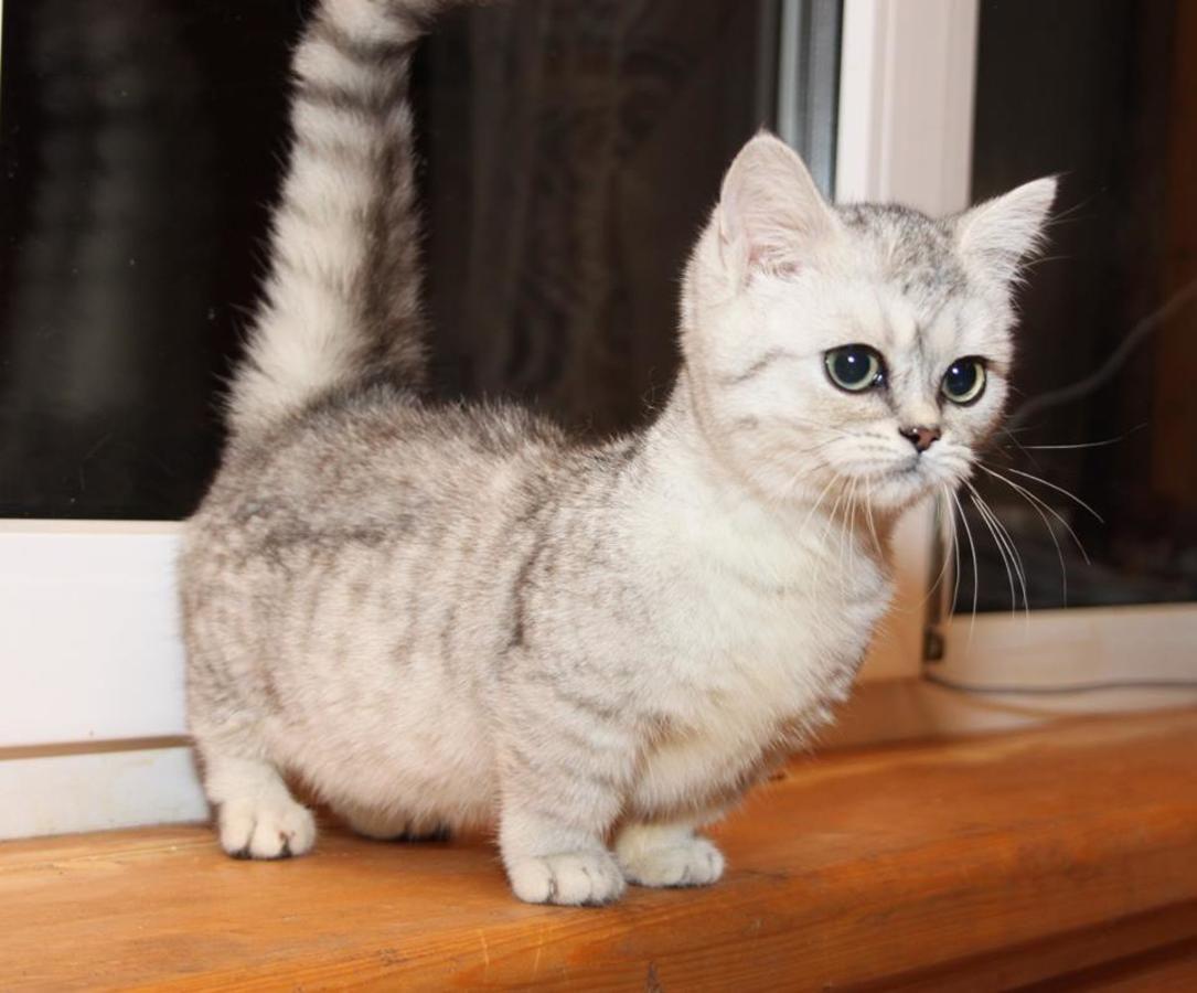 Scottish Fold Munchkin Cat Munchkin Cat Munchkin Cat Scottish Fold Cat Scottish Fold