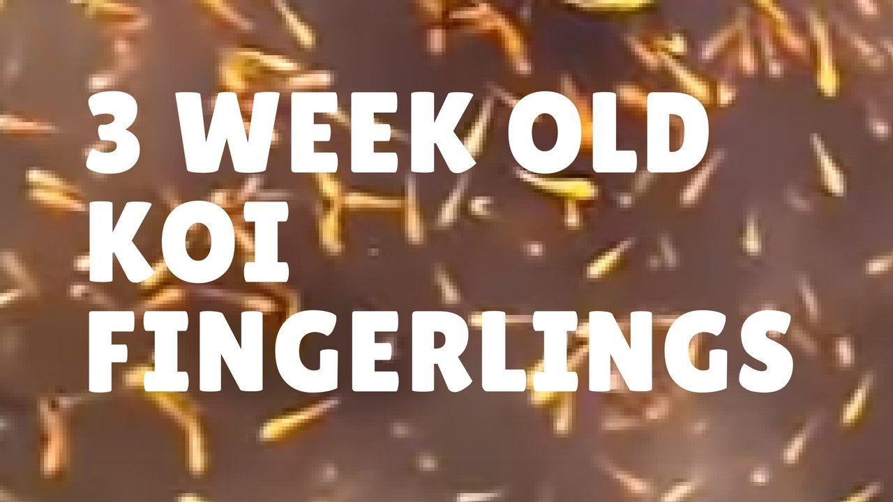 Koi Fingerlings At 3 Week Old Koi Koi Fish Fried Fish
