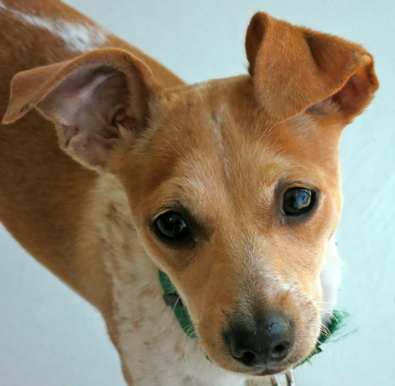 Freckles Italian Greyhound Jack Russell Terrier Mix Female 7