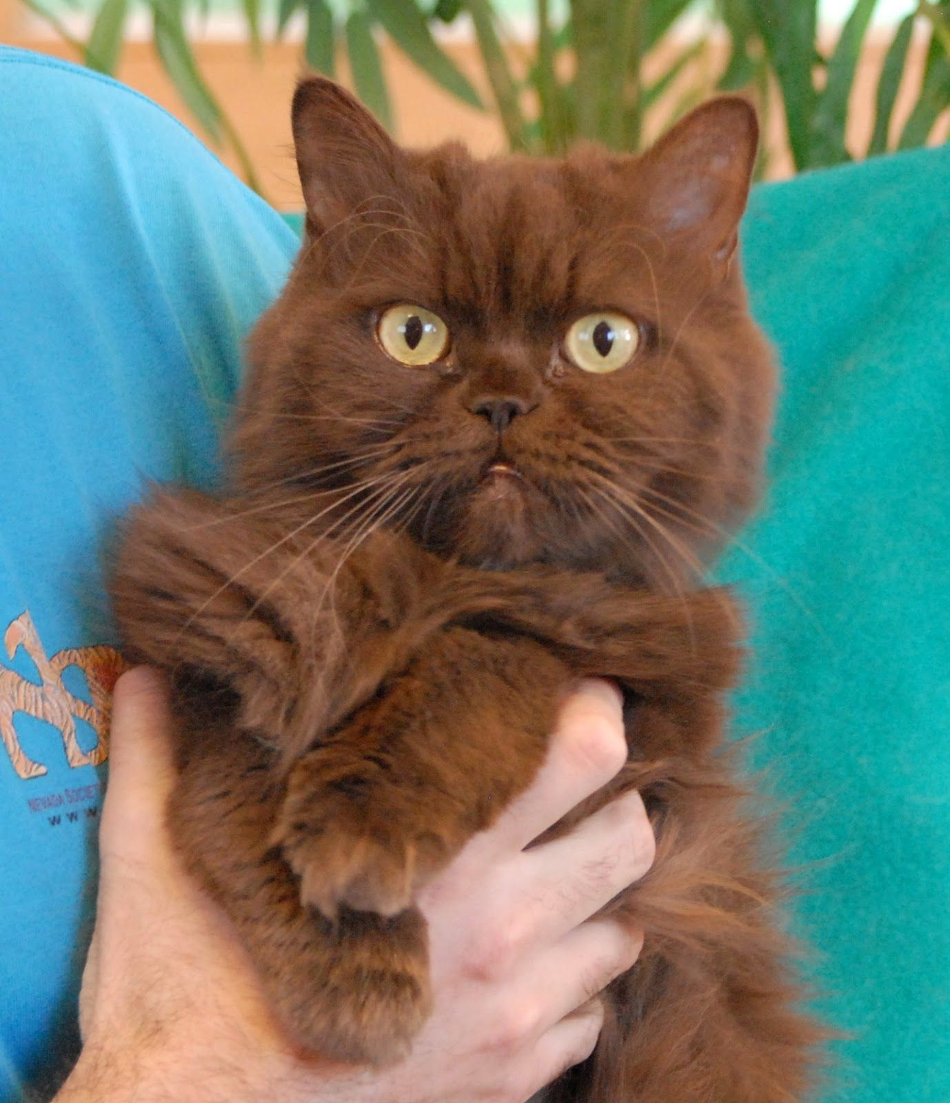 the rare brown cat All things Cat Pinterest