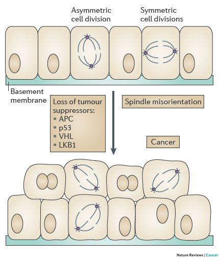 Epithelial cell polarity, stem cells and cancer
